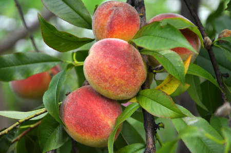 On the branch of a tree with green leaves grow ripe peach fruits Stock Photo