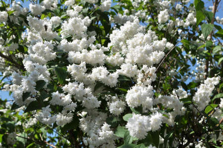 In early summer deutzia blooms in nature