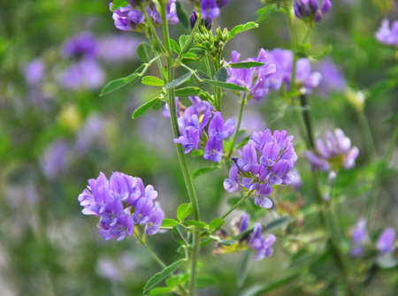The field is blooming alfalfa, which is a valuable animal feed