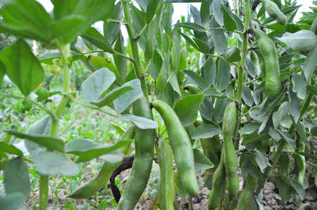 On the stem of the bean (Vicia faba) ripen green pods