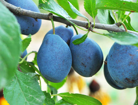 In the garden on a branch of a tree ripe plums
