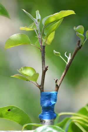 A new variety is grafted on a branch of a fruit tree