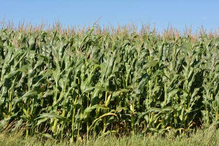 Corn grows on a farm field on a sky background