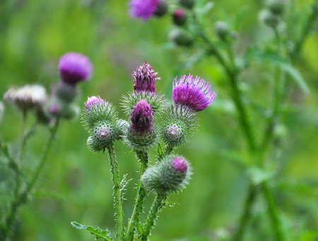In the meadow of wild herbs blooms thistle (Carduus).