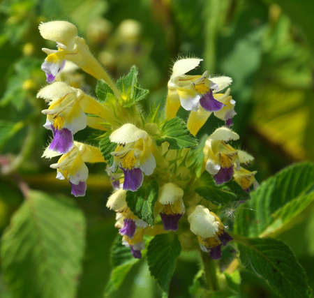 Summer among the wild herbs blossoms of nettle Galeopsis speciosa