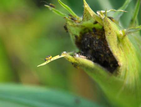 On a corn cob harmful insect - Western corn beetle (Diabrotica virgifera virgifera) 版權商用圖片