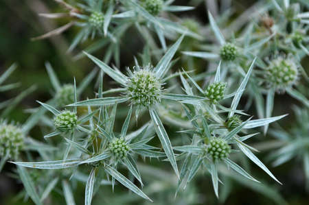 In the wild grows a thistle Eryngium campestre