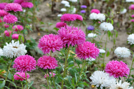 In the garden is blooming on the flowerbed asters