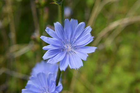 Chicory (Cichorium intybus) blooms in the wild in summer