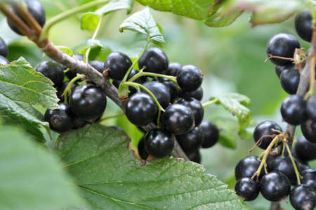 On the branch bush berries are ripe currant (Ribes nigrum).