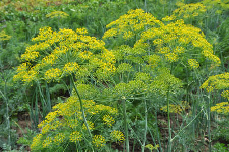 In the open ground in the garden grows dill
