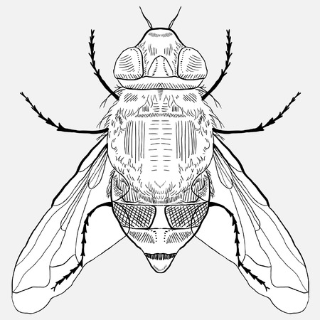 house fly: Hand Drawn Fly