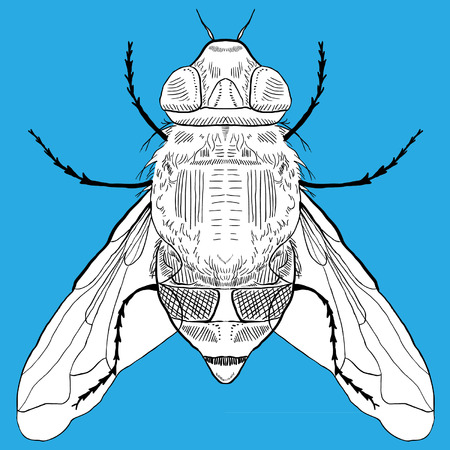 hand drawn fly