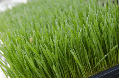 wheatgrass Фото со стока