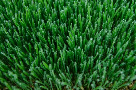 wheatgrass Reklamní fotografie
