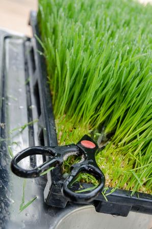 wheatgrass  cutting   harvest