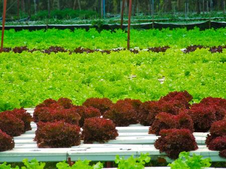 hydroponics: red oak  hydroponics  farm Stock Photo