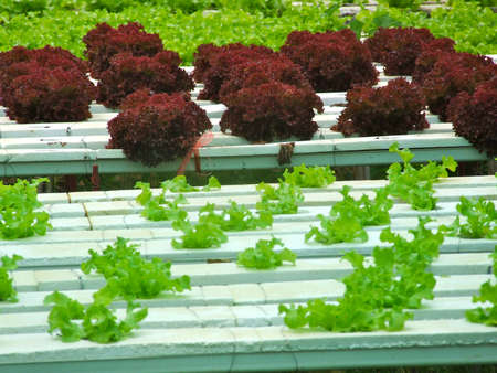 hygienics: cos  and red oak  vegetable  farm