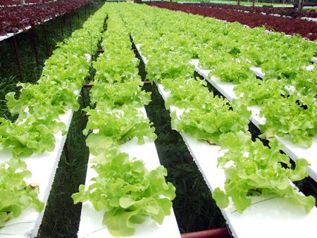 hydroponics: hydroponics vegetable Stock Photo