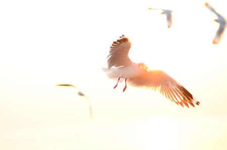 Seagull fly  sunset