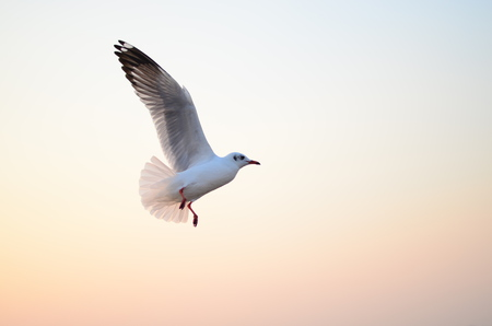 Seagull fly