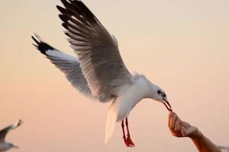 Seagull  eat food from hand Stok Fotoğraf
