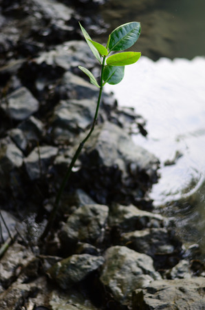 mangrove: sapling mangrove