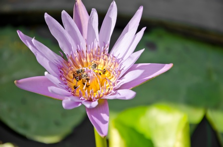 Bees in tropical garden with a lotus flower Stock Photo - 11837422
