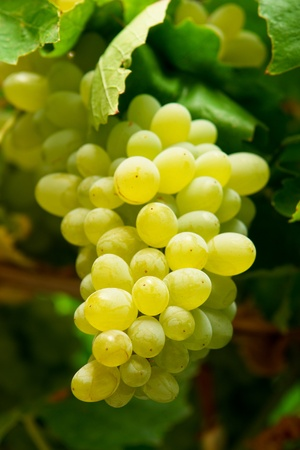 Grapes on branch Stock Photo