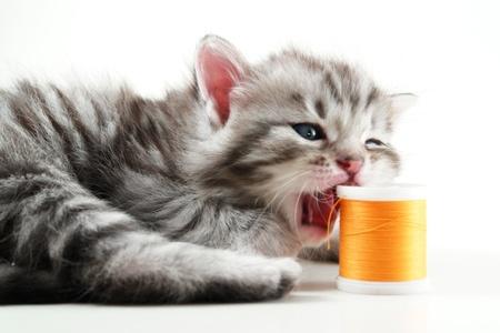 bobbin: Kitten play with sewing bobbin