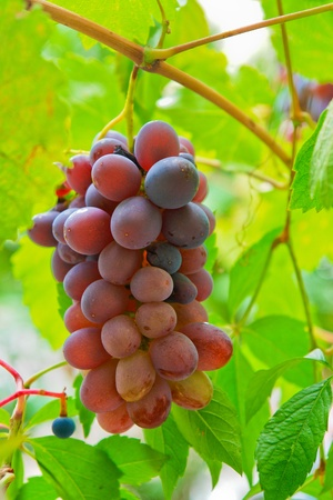 sauternes: Grape on branch