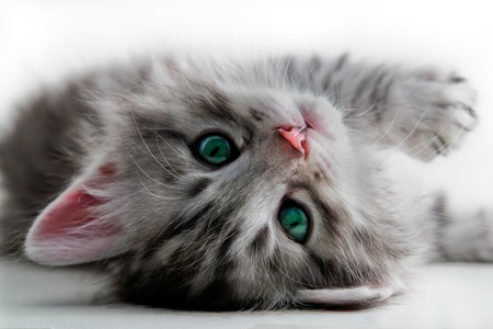 kitten small white: Kitten rests Stock Photo