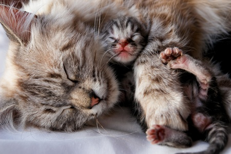 blue grey coat: Cat and her newborn kitten