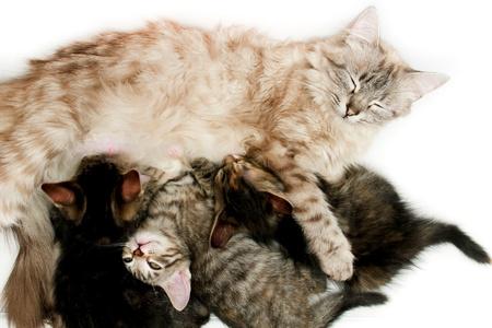 Cat nursing her newborn kittens photo