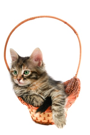 Cat in basket - white background  photo