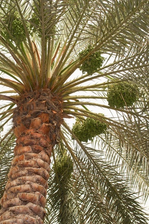 Dates palm tree  photo