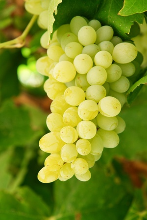 the fruitful: Grapes on branch Stock Photo
