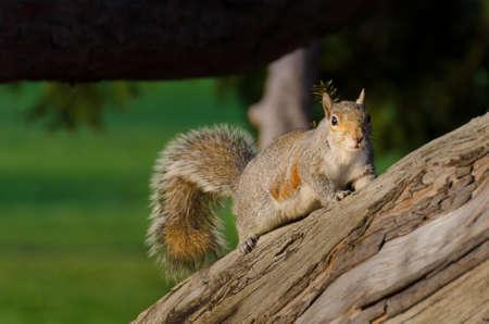 fluffy tuft: Squirrel in forest