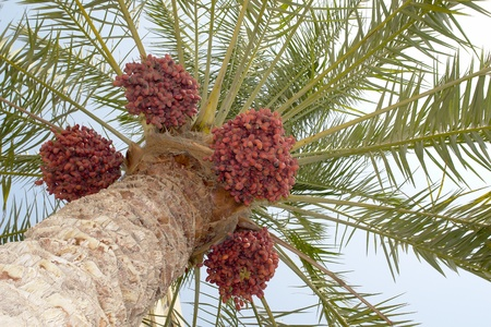 date tree: Dated palm tree - bottom view