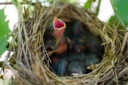 nido de pajaros: Recién nacido pichones en el nido de hambre Foto de archivo