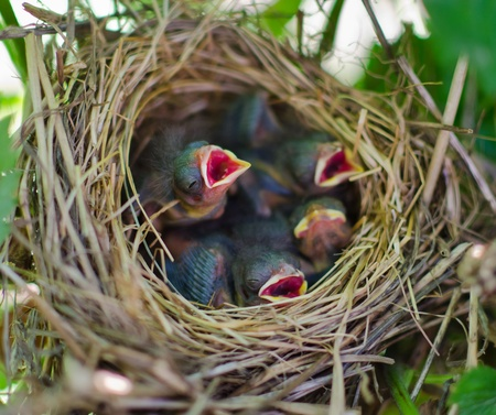 Newborn hungry baby birds in nest photo