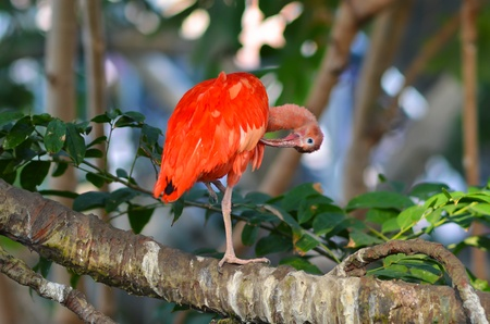 curved leg: Flamingo on a tropical tree branch