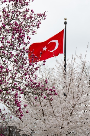 Turkish spring, Turkish flag with spring tree blossoms  photo