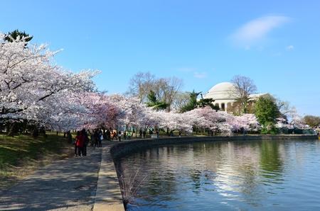 cerezos en flor: Thomas Jefferson Memorial durante Cherry Blossom Festival en Washington DC Estados Unidos Editorial