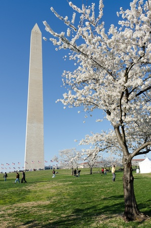 Washington Monument in spring, Cherry Blossom Festival  photo
