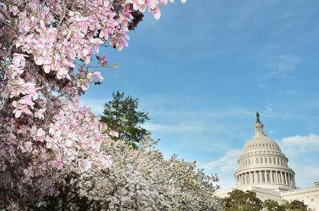 flor de cerezo: Estados Unidos edificio del Capitolio en la primavera, Washington DC Foto de archivo