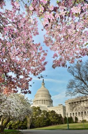 cerezos en flor: Estados Unidos edificio del Capitolio en primavera, Washington DC