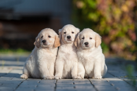 Happy puppies of golden retriever photo
