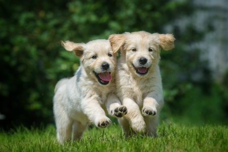 show dog: Two running and smiling puppy of golden retriever