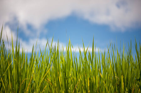 greengrass: green grass and blue sky background Stock Photo